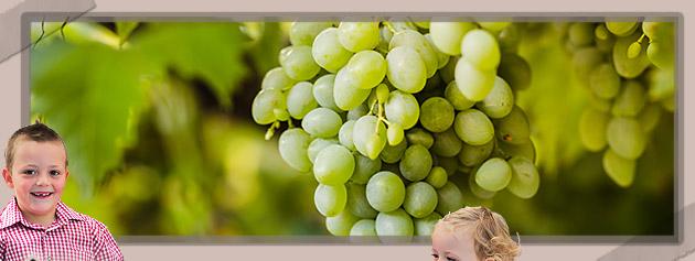 Die Weintrauben im Luftkurort Voellan in Lana bei Meran